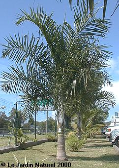Palmier Dypsis madagscariensis