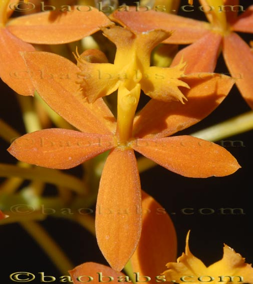 Epidendrum SUNRISE