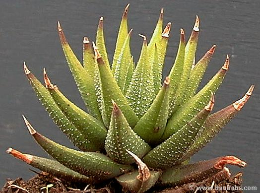 Haworthia sp.Intrigue