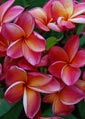 Plumeria rubra ORANGE SIXTY