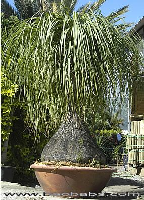 plante tropicale beaucarnea