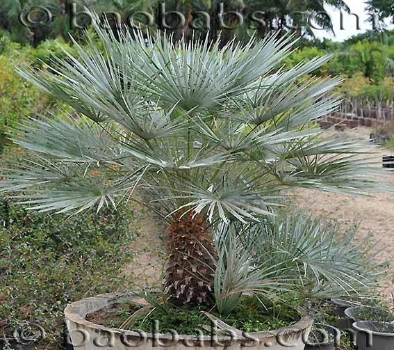 Chamaerops humilis for Palmier d exterieur resistant au froid