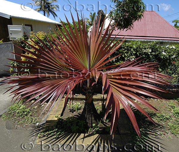 palmier croissance rapide